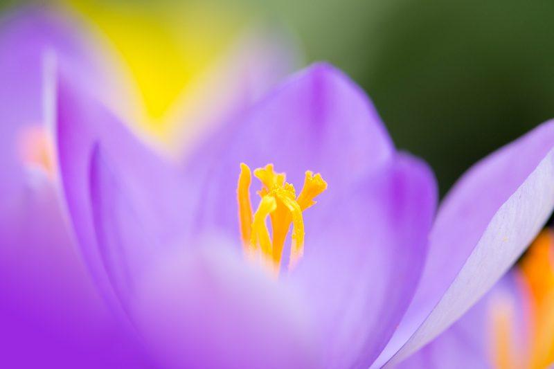 Crocus Flower, extreme shallow DOF